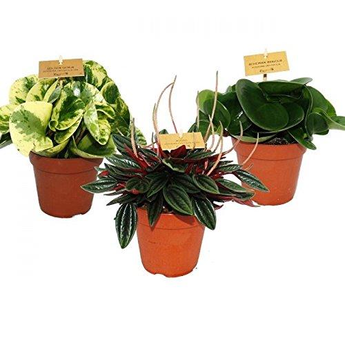 Zwergpfeffer-3er Set, Peperomia, Eden-Mix, 3 Pflanzen im 12cm Topf