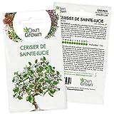 Kit graines de Bonsaï Cerisier de Sainte-Lucie: Graines de première qualité pour mini jardin ou potager zen - 5 graines de plantes de bonsaïs cerisier de Sainte-Lucie à faire pousser par OwnGrown