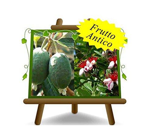 Feijoa Innestata Autofertile - Pianta da frutto antico - Albero su vaso da 26 - max 90 cm - 4 anni