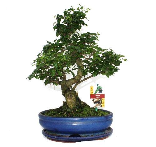 exotenherz - Bonsai Chinesischer Liguster - Ligustrum sinensis - ca. 10 Jahre