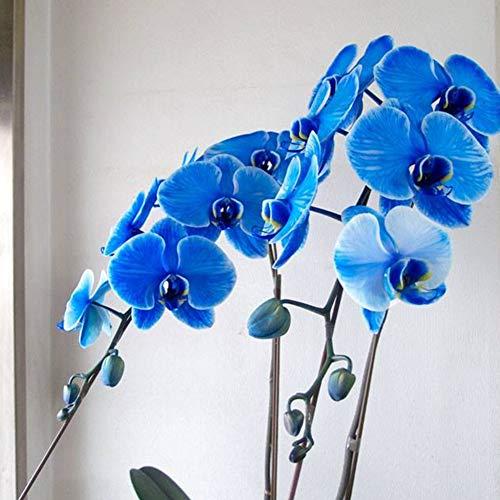 NE/_ EB/_ 20X Phalaenopsis Butterfly Orchid Seeds Home Garden Yard Bonsai Decorati