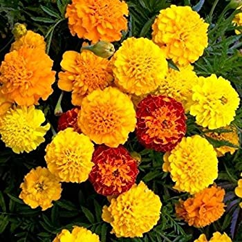 Marigold Seeds for Planting French Marigold Flower Seeds Mix - About 500 Seeds