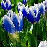 Tulpenzwiebeln,Angenehme MehrjäHrige Zierpflanzen Duftende Pflanzen Wurzelknollen-20 zwiebeln