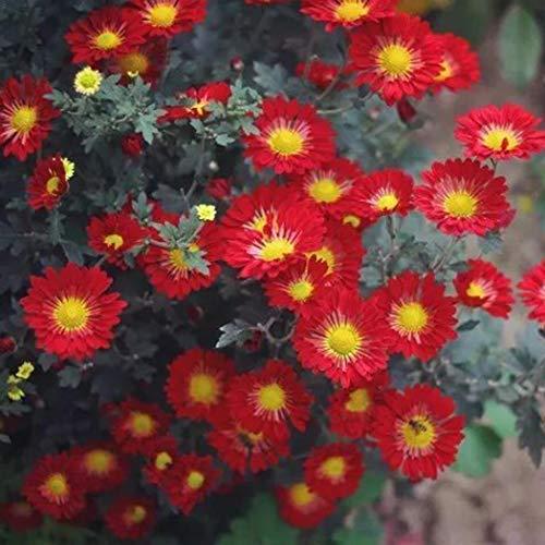 Ultrey Samenshop - 10 Stück Mittagsblume Samen Blumenmischung Bodendecker Studentenblume Sommerblumen Saatgut Blütenmeer für Garten Beet/Wiesen