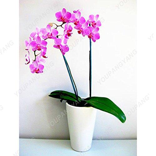 100 graines / pack japonais Radiata Seeds Aigrette Orchid Seeds espèces du monde Orchidée Rare Fleurs blanches Orchidee Plant Garden Blanc