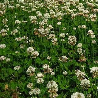 Ladino Clover Seed: Nitro-Coated, Inoculated - 10 LBS