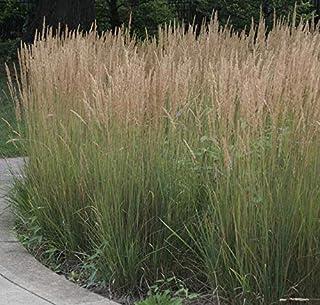 RubyShop724 Calamagrostis 'Karl Foerster' - Feather Reed Grass - Starte'r