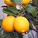 Citrus meyeri greffé compact - Citronnier de Meyer