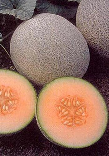 15 Samen von Cantaloupe Ambrosia Gemüse