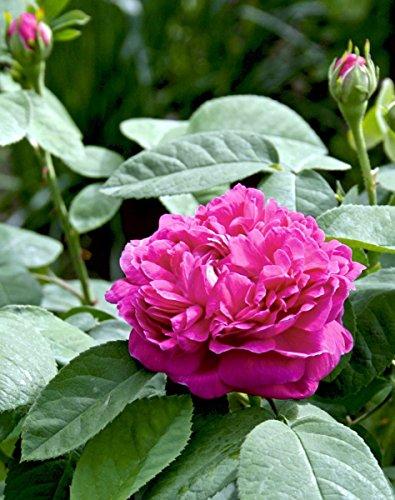 'Rose de Resht', Historische Strauchrose in A-Qualität Wurzelware