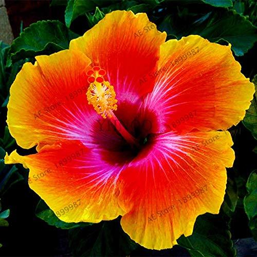 Pinkdose 100pcs / sac, flores Hibiscus, 24 couleurs bonsaïs Hawaii plantas d'hibiscus en pot pour la maison et le jardin, facile à planter: 12