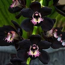 JannahMehr 100Pcs Black Orchid Seeds Cymbidium Flower Plant Home Office Garden Bonsai Decor, Easy to Plant, Plant Seeds, Gardening, Home Decor - Black Orchid Seeds