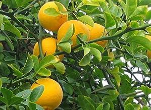 Hardy Bitter Orange, Poncirus trifoliata, Seeds (Showy, Fragrant, Edible)