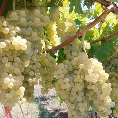 50 pcs/lot de raisin rouge doux Graines avancée Fruit graines croissance naturelle de raisin délicieux fruits jardinage plantes 6