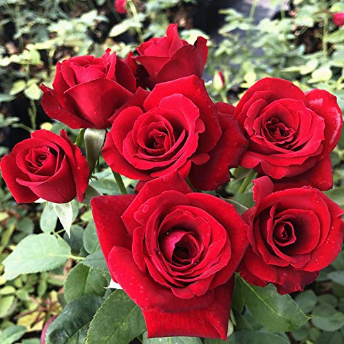 Rote Rosensamen 100+ (Rosa rugosa Thunb) Einfach wachsende Rosenblüte Hochwertige frische Pflanzensamen zum Pflanzen von Gärten im Freien im Innenbereich (Ka Luo La)