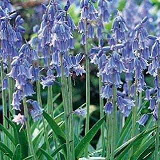 English Blue Bells - 12 Bulbs