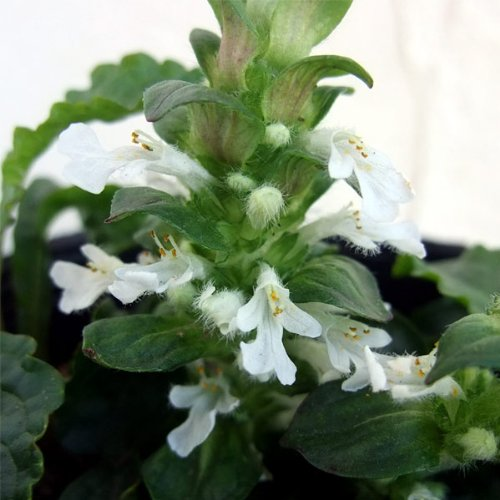 アジュガ:アルバ(白花)3号ポット 4株セット[ホワイトガーデンに]