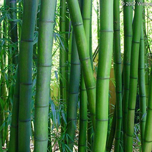 Soteer Garten- 20/30 Stücke Riesen Moso Bambus Samen (Phyllostachys edulis/pubescens) Heterocycla Zierpflanze Saatgut winterhart mehrjaehrig kommen aus China (30 Korn)