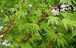 japanese maple sango kaku coral bark
