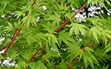 Sango Kaku Coral Bark Japanese Maple Tree - Live Plant - Trade Gallon Pot