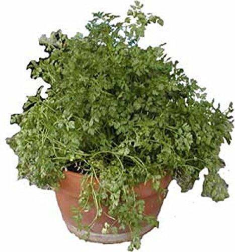 500 graines Herbes CERFEUIL Recroquevillé CULINAIRE - Anthriscus Cerefolium