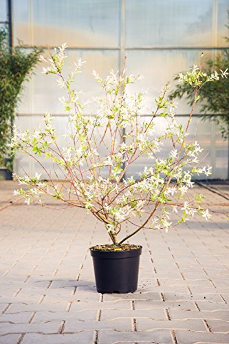 Zierweide Hakuro Nishiki, 60-100 cm, Zierstrauch winterhart-Frühblüher, Busch für Sonne-Halbschatten, Gartenpflanzen blühend, Weide, im Topf