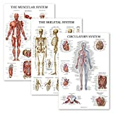 3 Pack - Muscle + Skeleton + Circulatory System Anatomy Poster Set - Muscular and Skeletal System Anatomical Charts - Laminated - 18' x 27'