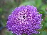 ScoutSeed Centratherum intermedium- Piña sangría- 20 semillas orgánicas frescas