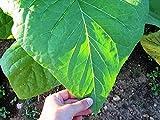 Semillas gigante del tabaco Krupnolistyy - hojas grandes de cultivo ecológico de la herencia