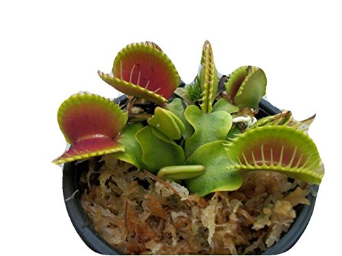 Large Sized B52 Giant Venus Flytrap - Fly Trap - (Dionaea Muscipula) Carnivorous Plant 3 inch Pot