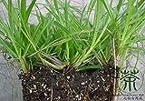 Familie Poaceae Paspalum notatum Samen 3000pcs, Pensacola Bahia Gras Grün Gartensamen, weit kultiviert Gemeinsame Bahia Seeds