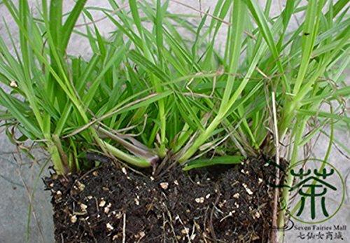 Vivaces herbe Paspalum notatum Graines 600pcs, Paysage occasion Pensacola Bahia Jardinage Graines, Famille Poaceae Bahia Semences à gazon