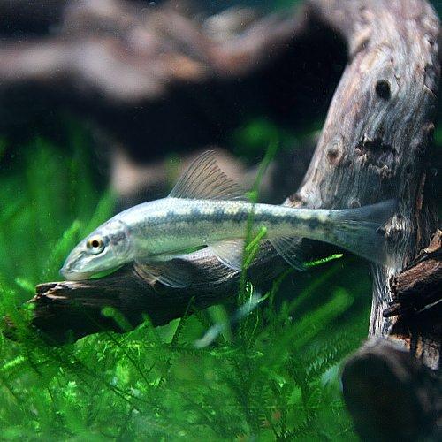(熱帯魚)アルジイーター(約4cm)<3匹>[生体]