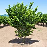 Pixies Gardens American Hazelnut Tree Shrub Live Fruit Nut Plant for Planting - Clusters of Small Round 1/2' Long Nuts