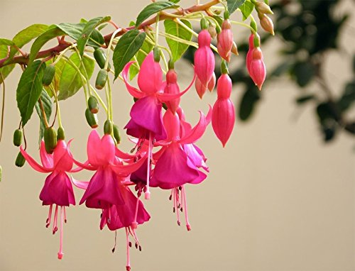 Pets Delite® Fuchsia Laternen Blumensamen Garten Balkon Begonia Bell Pot Blumensamen - Purple-10-tlg