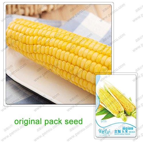 12 graines/Pack, vente maïs cireux d'or, les graines de maïs, les plantes vertes faciles à cultiver les graines bio jardin de légumes