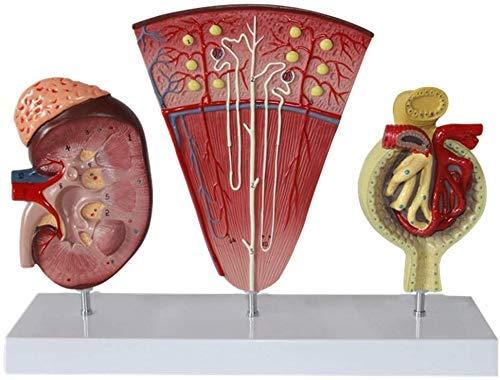 L.TSN Anatomisches Modell der Niere - Modell der Niereneinheit Modell des menschlichen Harnsystems Glomeruläre Wissenschaft in der menschlichen Anatomie Modelle des PVC - eine Hilfe für die Medizi