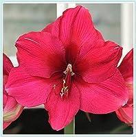 ヒッペストラム球根 -珍しい園芸鉢植え,球根周囲16-22cm,家の園芸装飾、