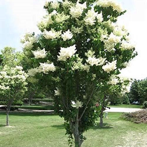 Steellwingsf Hausgarten Topf Samen, 50 Stück Weiße Japanische Flieder Samen Gewürznelke Blume Hausgarten Balkon Bonsai Dekor Japanische Fliederbaumsamen