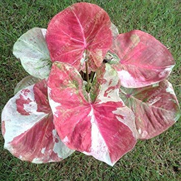 Vistaric 100 pcs/sac graines de plantes de caladium, Burnt Rose (jio ying) oreille d'éléphant belle graines de fleurs d'arbres de bonsaï plante en pot herbe 15