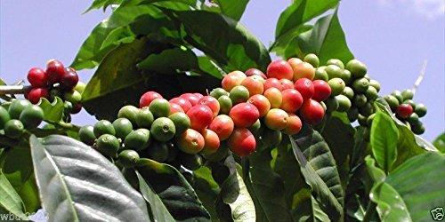10 Coffea Graines de plantes (café Blue Mountain jamaïquain) Cultivez votre propre arbre de café!