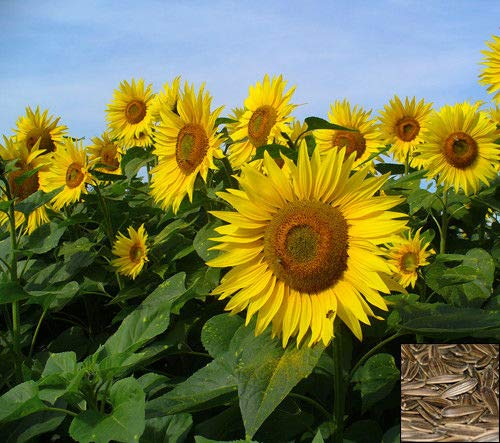 Portal Cool Sonnenfleck - Zwergsonnenblume - 25 Samen Helianthus Annuus Yellow Ornamental F. # 935