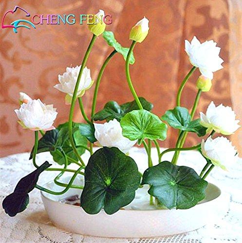 Lotus-Samen, Lotus-Samen, Seerose Blume, 10 Partikel / pack Schüssel Lotussamen Andere