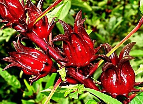 10 Hibiscus sabdariffa Samen, Roselle, Karkade, lecker als Tee oder im Sekt