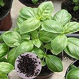 Ces graines de basilic de qualité supérieure sont à la fois faciles à planter et à très haut rendement. Vous pouvez acheter ces graines qui peuvent cultiver des feuilles de basilic pour décorer votre beau jardin. Fabriqué en graines de haute qualité....