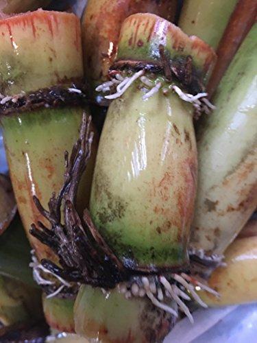 Perennial Sugarcane Root Stock Organic 4...