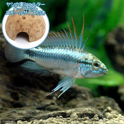 charm(チャーム) (熱帯魚)アピストグラマ・トリファスキアータ(1ペア)+ ココナッツシェルター(1個) 【生体】