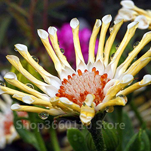 Hot Sale! 40 stuks Afrikaanse Blue Eyed Daisy Flower Osteospermum Bonsai Blue Daisy winterharde planten Flower Exotische Ornamental Flowers: 7, Medium