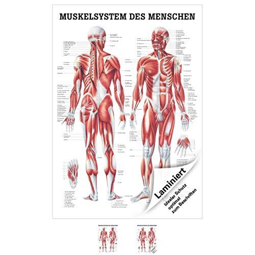 Menschliches Muskelsystem Lehrtafel Anatomie 100x70 cm medizinische Lehrmittel