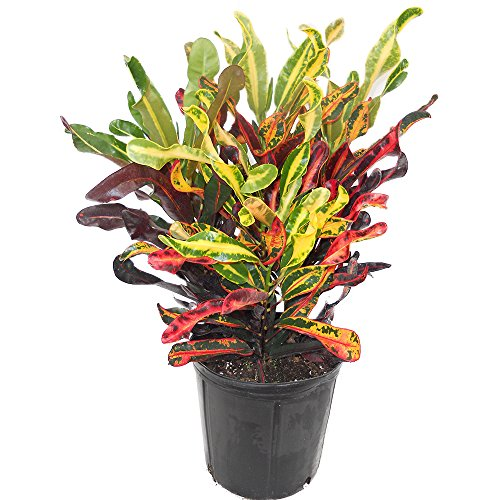 AMERICAN PLANT EXCHANGE Mammy Croton Live Plant, 3 Gallon, Indoor/Outdoor Air...